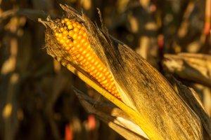 Maiskolben, Nahrungsmittel als Energieträger?