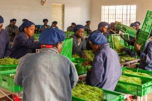 Frauen sortieren Bohnen für den Export nach Europa.