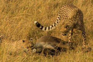 Geparden haben ein Gnu gerissen, Kenia
