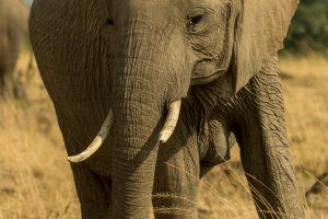 Elefantenkuh, Afrika