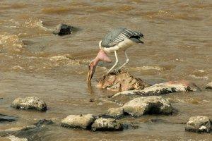 Marabu am Mara-River, Kenia
