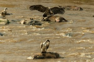 Geier am Mara-Fluss, Kenia
