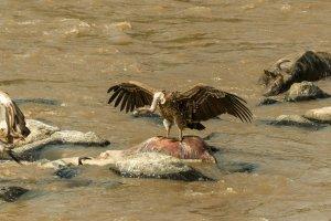 Geier auf totem Gnu im Mara-River, Afrika