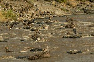 Geier, Marabus und tote Gnus im Mara-Fluss, Kenia