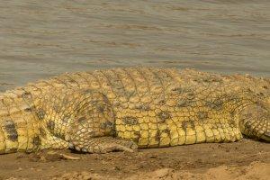 Krokodil mit offenem Maul, Afrika