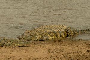 Krokodile am Mara-River, Kenia