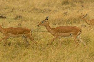 Impalas in Kenia