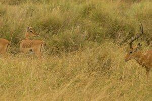 Männliche und weibliche Impalas, Afrika