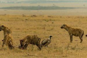 Hyänen und Geier, Afrika