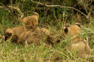 Junge Löwen spielen mit Elefantendung, Kenia