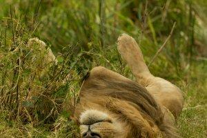 Männlicher Löwe bei der Mittagsruhe, Afrika