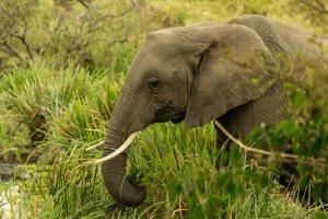 Elefant frisst am Wasser, Kenia