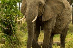 Majestätische Elefantenkuh, Kenia