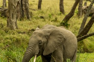 Elefant beim Fressen, Kenia