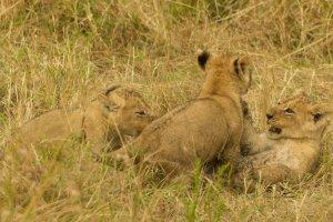 Junge Löwen balgen miteinander, Kenia