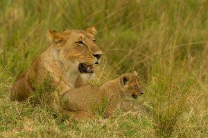 Löwin mit Jungtier, Kenia
