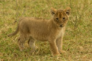 Junger Löwe, Kenia