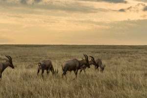 Herde Kuhantilopen am Abend, Afrika