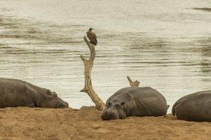 Nilpferde am Mara-Fluss, Afrika