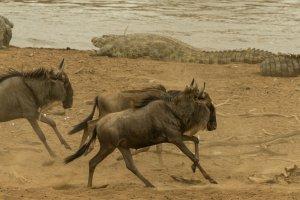 Gnus mit Krokodilen im Hintergrund, Afrika