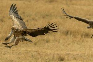 Zwei Geier im Flug, Afrika