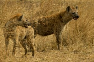 Hyänen in Afrika