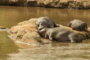 Flusspferde auf einer Insel im Mara-River, Afrika