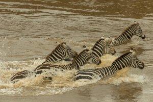 Zebras überqueren den Mara-Fluss, Kenia