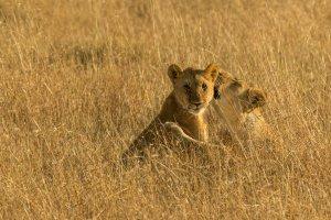 Zwei Löwen, Kenia