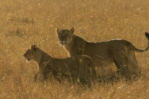Löwen im hohen Gras, Afrika