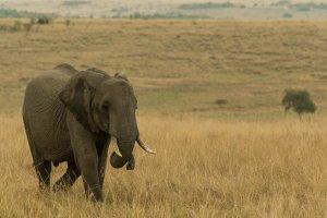 Elefantenbulle in der Savanne, Afrika