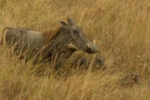 Warzenschwein mit Jungen, Afrika