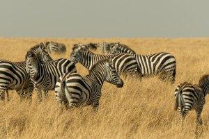EIne Herde Zebras, Afrika