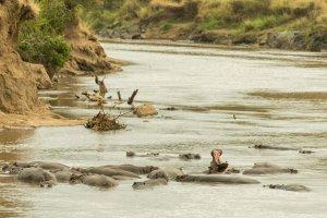 Flusspferde im Mara-River