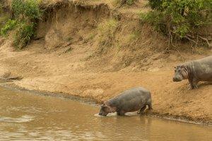 Nilpferde steigen ins Wasser