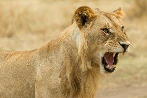 junges Löwenmännchen droht