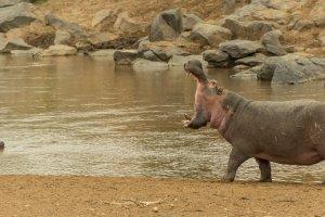 Ein Flusspferd reißt das Maul weit auf