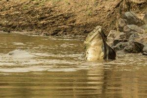 Krokodil zerfetzt ein Gnu