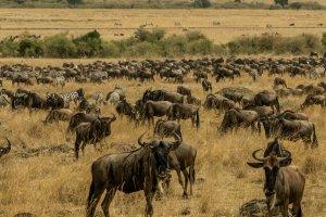 Eine Herde Gnus mit Zebras in Kenia