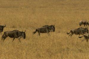 Gnus galoppieren durch die Savanne Kenias