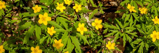 Gelbe Windröschen