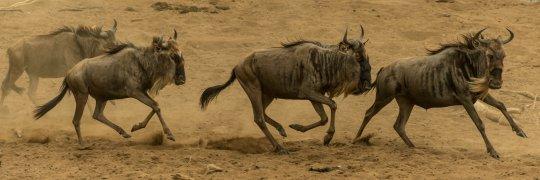 Gnus am Ufer des Mara