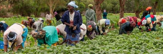 Bohnenernte in Afrika