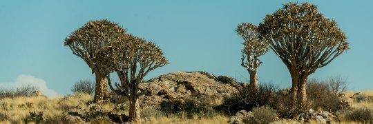 Köcherbäume in Afrika