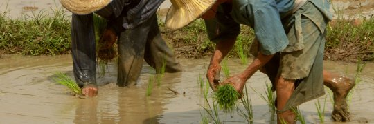 Reisanbau in Thailand