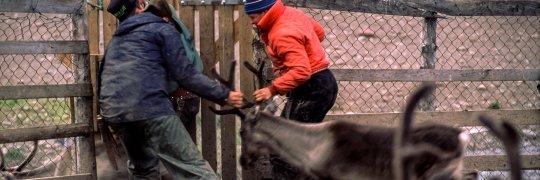 Rentierzüchter in Skandinavien