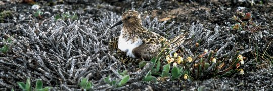 Sanderling  auf Gelege in der Tundra